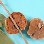 Phylloporia fruticum