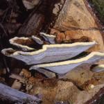 Phaeolus schweinitzii